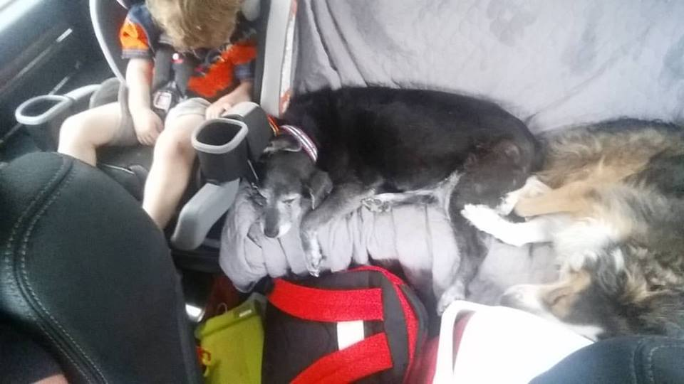 Child and two dogs in back of truck during a roadtrip